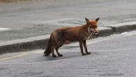 Foxes on the streets of Brixton aren't a rare sight at all at night, but it's unusual to see one as brazen as this cheeky vixen, which held up traffic […]