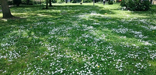 A swift saunter out of central Brixton and up Brixton Hill will reward you with the delightful sight of a sea of daisies covering Rush Common. Related Tags: